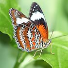 Another Butterfly in Cairns by Bami