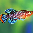 Nothobranchius rachovii marromeu MZ-99 by Vern Treat