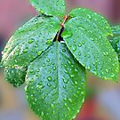 Raindrops on Rose Leaves by BlueMoonRose