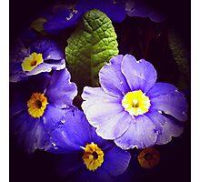 Primrose flowers Photographic Print