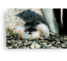 Penguin Chick Sunbathing Canvas Print