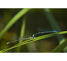 Damselflies in tandem (Enallagma cyathigerum) Photographic Print
