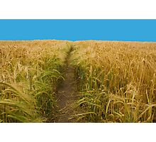 Path Through Cornish Wheat Field in Summer Photographic Print