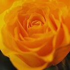 Yellow rose by Roxy J