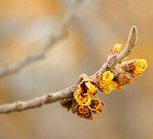 Winter's Flowers - Witch Hazel II by Marilyn Cornwell