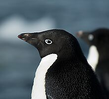 Adelie Penguin Side View by Crispel