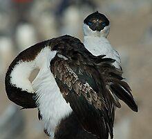 Blue Eyed Cormorants in Antarctica by Crispel