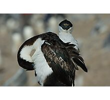 Blue Eyed Cormorants in Antarctica Photographic Print