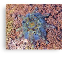 Starfish - the Carpet Sea Star (Patiriella calcar) Canvas Print