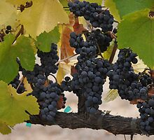 Pinot Noir Clusters  by Jos-Vignettes