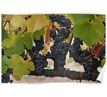 Pinot Noir Clusters  Poster