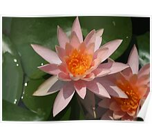 Beautiful Peach Waterlily Vector Poster
