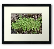 Ferns, Rock Wall Framed Print