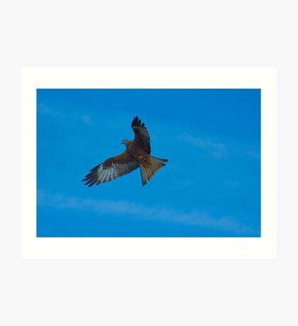 Red Kite Hunting  (Milvus milvus) Art Print