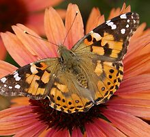 She's a Lady -- Painted Lady (Vanessa cardui) by Erma