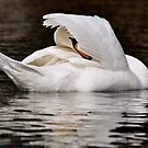 Swan Hiding  by Monte Morton