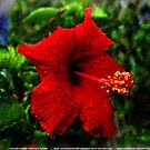 Red Hibiscus 1 by michaelasamples