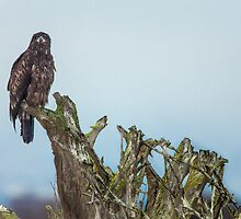 Juvenile Bald Eagle by Jim Stiles