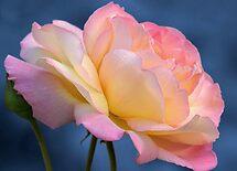 rose on blue by Teresa Pople