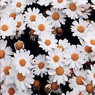 Daisies by infiniti