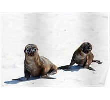 Young Galapagos Sea Lions, Gardiner Bay, Galapagos Poster