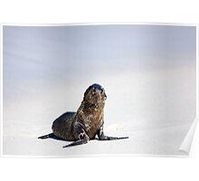 Galapagos Sea Lion Pup, Gardiner Bay, Galapagos Poster