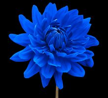 Blue Dahlia Flower Black Background Wall Art by Natalie Kinnear