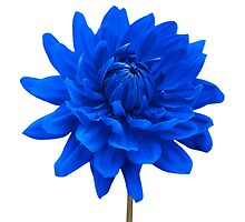 Blue Dahlia Flower White Background by Natalie Kinnear