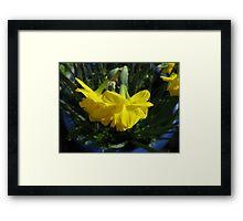 Nodding Daffodils Framed Print