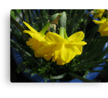 Nodding Daffodils Canvas Print