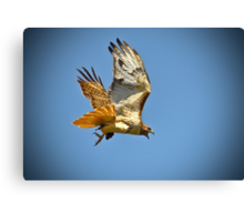 Red Tailed Hawk with Mouse Canvas Print