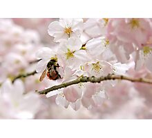 Bumble Bee on Cherry Photographic Print
