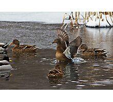 Mallards (Anas platyrhynchos) Photographic Print