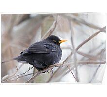 Blackbird (Turdus merula) Poster