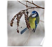 Blue tit - 2 (Parus caeruleus)  Poster