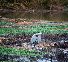 Great Blue Heron and a Decoy Duck  by afroditi katsikis