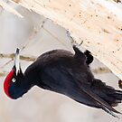 Black woodpecker (Dryocopus martius)  by Vasil Popov