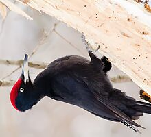 Black woodpecker (Dryocopus martius)  by Vasil Popov
