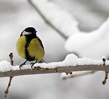 Great tit (Parus major) by Vasil Popov