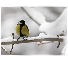 Great tit (Parus major) Poster
