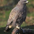The Common Buzzard (Buteo buteo) by Hovis