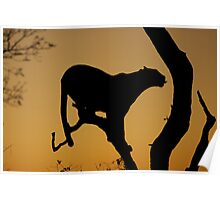 Morning Leopard silhouette Poster