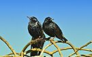 Starlings by Elaine  Manley