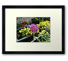Beauty Unfolding - Allium and Pansies  Framed Print