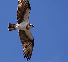 Australian Osprey by Graham Mewburn