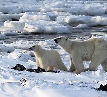 Polar Bear & Cub Tasting the Air, Churchill, Canada by Carole-Anne