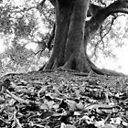 Majestic Moreton Bay fig by Julie Sleeman