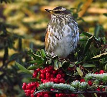 Redwing and Red Berries by wiggyofipswich