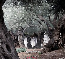 The Garden of Gethsemane, Jerusalem by Tony Roddam