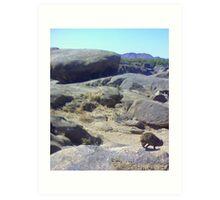 Dassie (rock rabbit), Augrabies Falls National Park Art Print